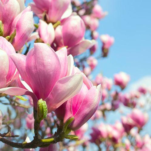 dtroadtrip-dallas-magnolias